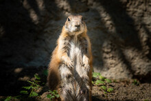 A Black Tailed Prairie Dog Standing In The Sun