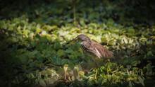 The Javan Pond Heron Is Walking In The Swamp.