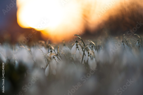 Papel de parede snowdrops in the sunset