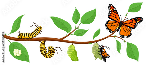 Fotografie, Obraz Butterfly life cycle
