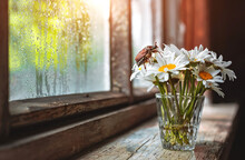 May Beetle A Bouquet Of Chamomile Flowers In A Glass Vase On An Old Rustic Wooden Windowsill, A Wet Window After Rain And A Sunbeam.