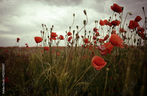 Fototapety, obrazy: Beautiful poppy field with blooming red flowers, spring blooming background