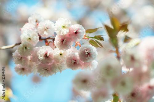 Obraz na płótnie Branch of sakura with white and rose flowers blossom