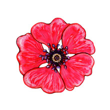 Watercolor Red Bud Anemone. Hand Drawn Illustration Isolated On White Background. Garden Flower. Element For Creating Invitations, Cards And Packaging.