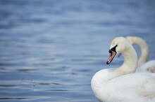 Young Swan Portrait