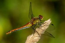 Close Up Of A Red And Yellow Dragonfly In Bright Sunlight