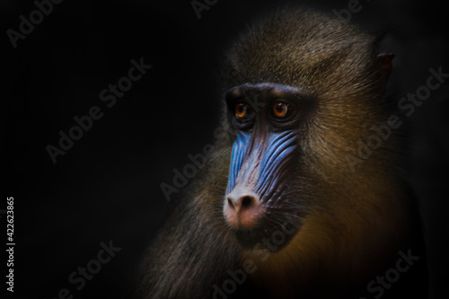 Fotografia Cute golden mane and blue young female mandrill from africa