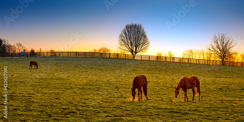 Fotografija Three thoroughbred horses grazing at sunrise in a field.