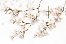 Macro Photography Of Beautiful Branches Of White Cherry Blossom Blooming In Spring