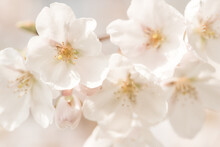 Macro Photo Of Beautiful White Cherry Blossom In Spring In Sunlight