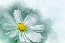 Watercolor Painting Of White Cosmos Flower - In Latin Cosmos Bipinnatus. Letter Head Or Greeting Card