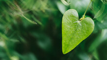 Green Ivy Leave In Heart Form Against Blur Bokeh Nature Background. Natural Ecological Wallpaper. Macro. Planting And Landscaping The Environment. Greening And Ecologization, Awareness Environmental