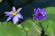canvas print picture - Lotus Flower (Nelumbo nucifera)