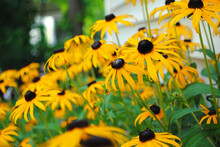 Black-eyed Susans In Front Of A House
