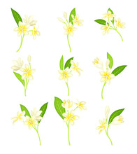 Frangipani Or Plumeria White Flower With Green Leaf On Stem Vector Set