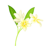 White Flower Of Frangipani Or Plumeria With Oval Petals And Lanceolate Leaf On Green Stem Vector Illustration