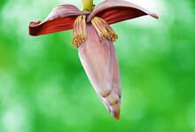 Banana Flower On Green Blurred Background, Banana Blossom