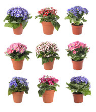Collection Of Beautiful Flowers In Pots On White Background