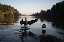 A Wild Canada Geese (Branta Canadensis) Flapping Its Wings In The Willamette River At Dusk. Selective Focus.