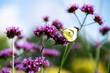 motyl i werbena w ogrodzie