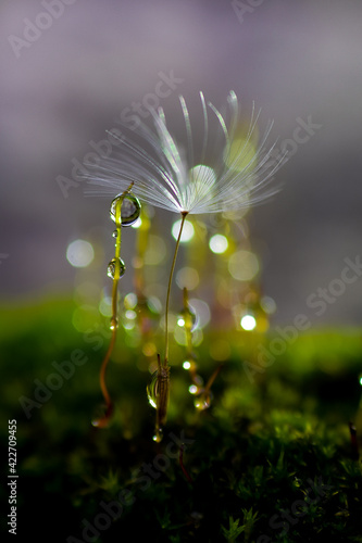Fototapeta close-up kropla wody i dmuchawiec obraz
