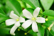 White Flower Of Orange Jessamine, Satin Wood, Murraya Exotica Tree.