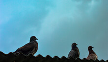 The Three Pigeon On The Roof