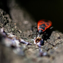 Selective Focus Shot Of A Red Soldier Bug Killing Its Prey