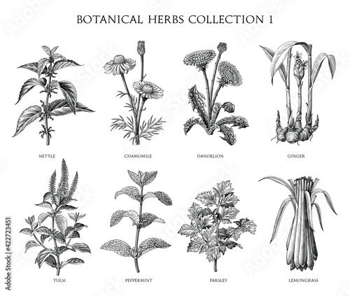 Fototapeta Botanical herbs collection hand draw engraving style black and white clip art isolated on white background obraz