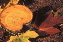 Nature Morte Composée D'une Rondelle De Bois Avec Nevures De Jaune à Brun Clair Et 2 Feuilles D'érable L'une Jaune Et L'autre Rouge Bordeaux