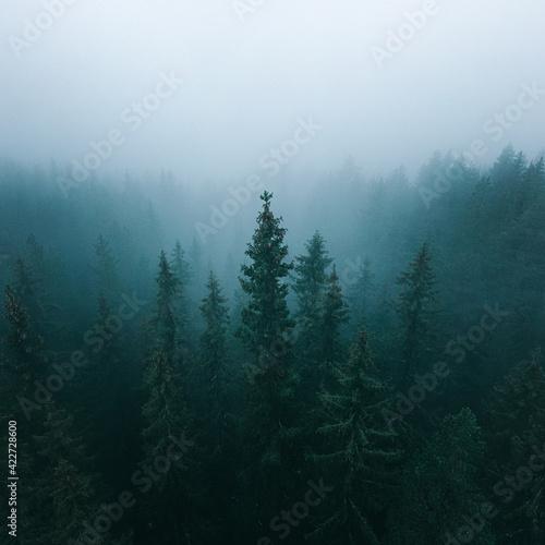 Fototapeta misty evening in the forest obraz