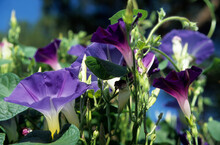 Purple Flower Heads Of Trumpet Shaped Morning Glory Growing Outside On A Sunny Day