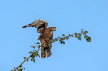 The White-eyed Buzzard Is A Medium-sized Hawk, Distinct From The True Buzzards In The Genus Buteo, Found In South Asia