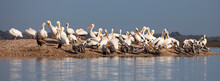 American White Pelicans, Brown Pelicans, And Double-crested Cormorants Standing On An Oyster Shell Mound On The Matanzas River.