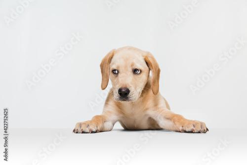 Fototapeta premium Little Labrador Retriever playing on white studio background