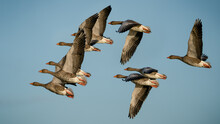 Greylag Geese In Formation During The Migration Around Europe On The Way To New Feeding Gounds And To Breed
