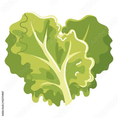 Fototapeta lettuce vegetable fresh obraz