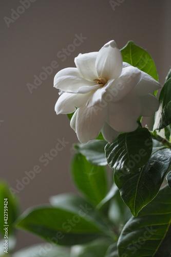 Fototapeta Rozkwitły biały kwiat na szarym tle z liśćmi obraz