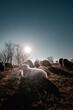 canvas print picture - Schafe im Gegenlicht