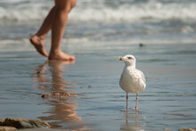 A Young European Herring Gull Standing On The Beach
