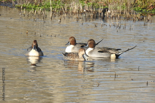Fotografie, Tablou Northern pintail ducks enjoying a beautiful day at the Colusa National Wildlife Refuge, in the Sacramento Valley, California