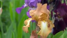 Golden German Iris,different Colored Irises Bloom In The Garden