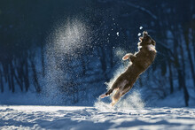 Border Collie Dog Jumping In The Snow