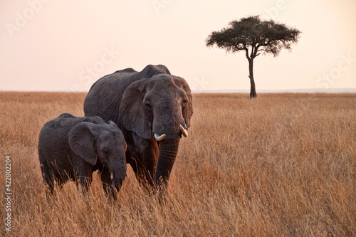 Fototapeta african elephant in kruger national park obraz