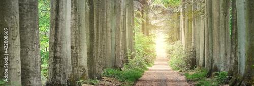 Obraz na plátně Walkway in a green spring beech forest park