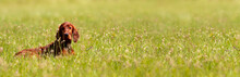 Happy Cute Irish Setter Pet Dog Puppy Lying In The Grass. Spring, Summer Walking Concept, Web Banner.