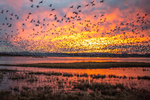 Sandhill Cranes And Snow Geese Goose Takeoff At Sunrise At Bosque Del Apache Nature Preserve In New Mexico - Bird Flock Behavior In Courting And Territoriality