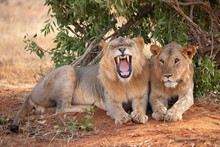 TSAVO EAST NATIONAL PARK, KENYA, AFRICA: Tsavo Lions Resting Under The Shade Of A Bush In The Evening