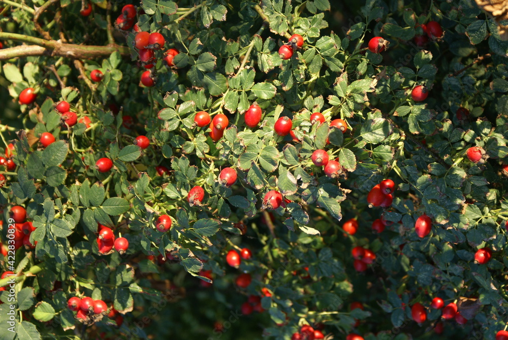Fototapeta krzew dzikiej róży owoce czerwone