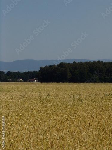 Fototapeta pole zboża żniwa lato wieś obraz